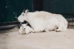 У снежных коз в Московском зоопарке родился детеныш