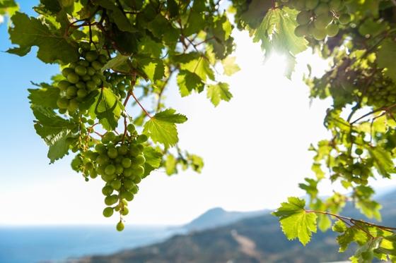 Виноградник в остров Салоники
