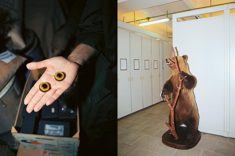 Медведя (справа) застрелил офицер КГБ, на досуге увлекавшийся охотой. Долгое время трофей хранился у него дома, но в преклонном возрасте хозяин подарил чучело Дарвиновскому музею.