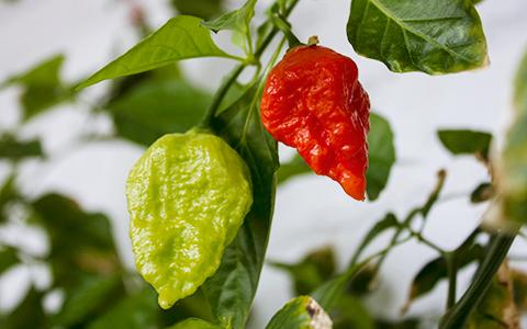 Диктатор чили: кто и зачем выращивает самый острый перец в мире