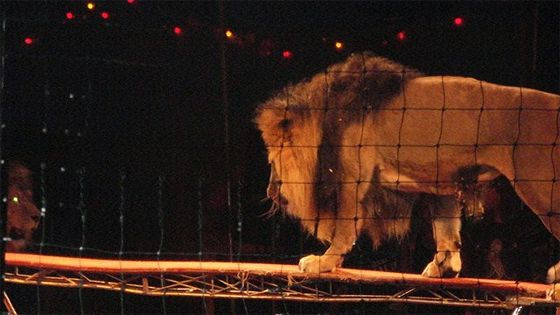 Львы Африки