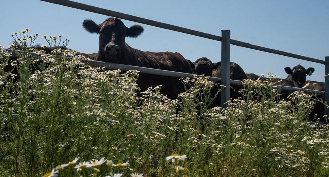 Как устроено мясное производство